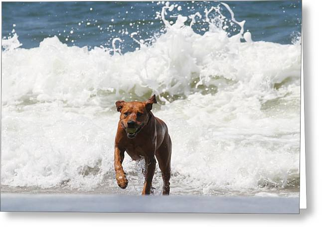 The Retrieve Greeting Cards - Out of the Waves Greeting Card by Renae Laughner