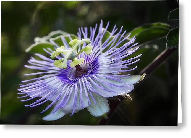 Passion Flower Greeting Cards - Out of this World  Greeting Card by Saija  Lehtonen