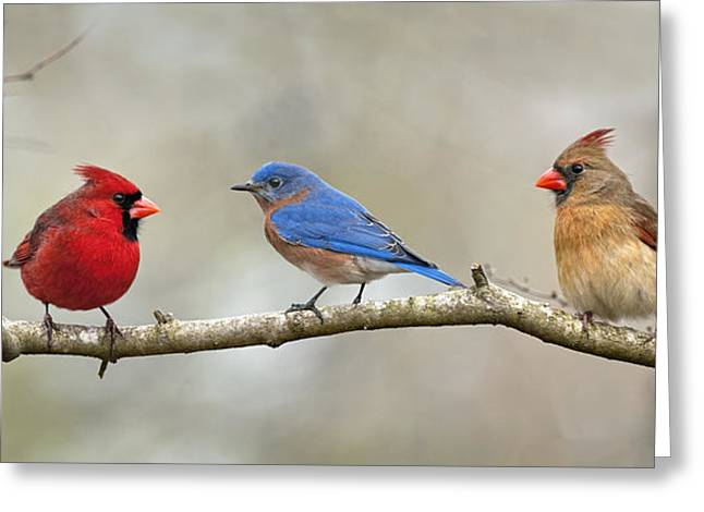 Female Northern Cardinal Greeting Cards - Out on a limb . . . Greeting Card by Bonnie Barry