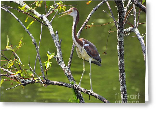 Egretta Tricolor Greeting Cards - Out on a Limb Greeting Card by Al Powell Photography USA
