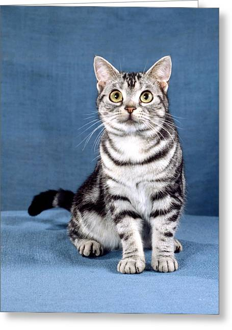 American Shorthair Greeting Cards - Outstanding American Shorthair Cat Greeting Card by Larry Allan