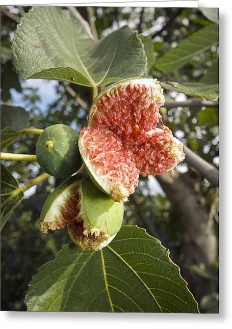 Ficus Greeting Cards - Over-ripe Figs On A Tree Greeting Card by Paul Harcourt Davies