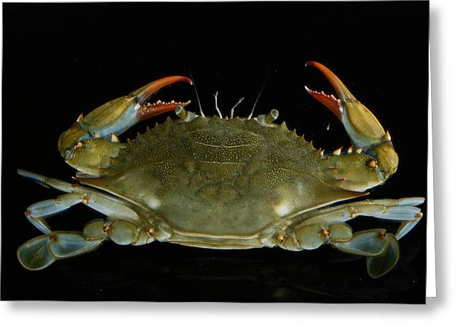 Callinectes Sapidus Greeting Cards - Overhead Close-up Of A Blue Crab Greeting Card by George Grall