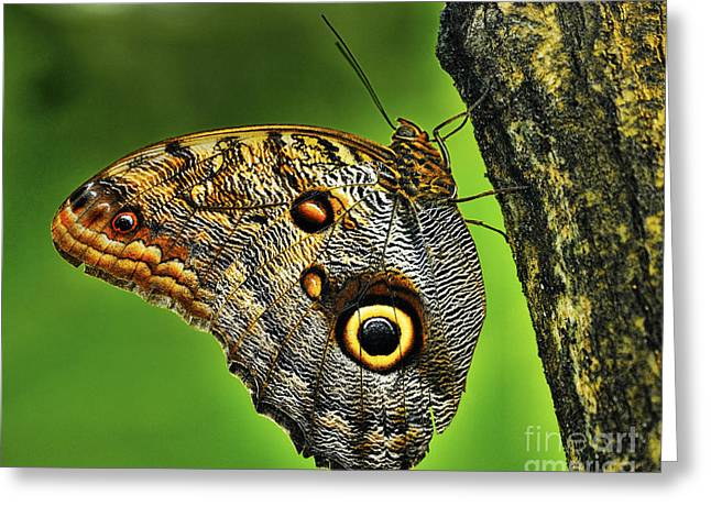Butterlfy Greeting Cards - Owl Butterfly - Caligo Eurilochus Greeting Card by JH Photo Service
