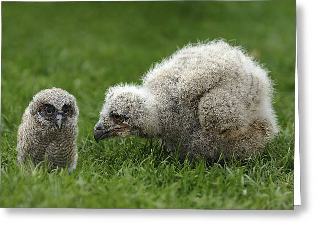 Fluffy Chicks Greeting Cards - Owl Chicks Greeting Card by Linda Wright