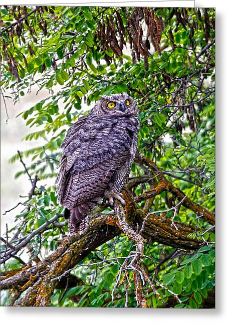Barn Pen And Ink Greeting Cards - Owl In A Tree Greeting Card by Athena Mckinzie