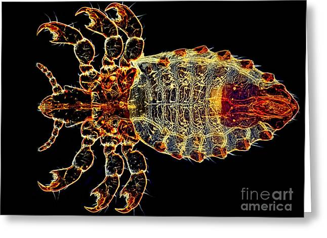 Dark Field Microscopy Greeting Cards - Ox Louse, Dark Ground Illumination Greeting Card by M. I. Walker