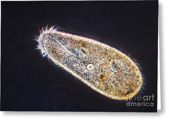Ciliophora Greeting Cards - Oxytricha Trifallax Greeting Card by Eric V. Grave