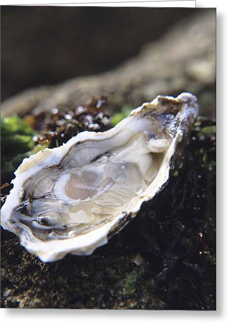 Aphrodisiac Greeting Cards - Oyster Greeting Card by Veronique Leplat