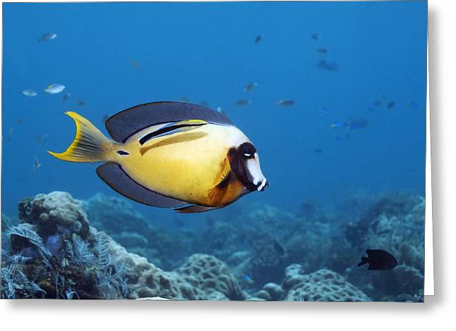 Indo-pacific Ocean Greeting Cards - Pacific Mimic Surgeonfish Greeting Card by Georgette Douwma