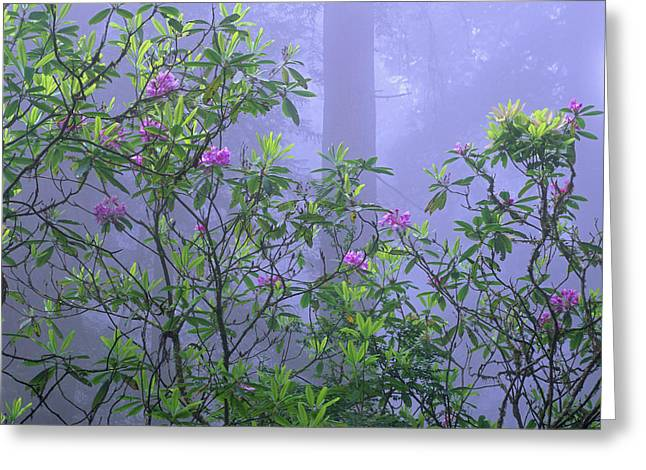 Species: S. Sempervirens Greeting Cards - Pacific Rhododendron Flowering In Misty Greeting Card by Tim Fitzharris