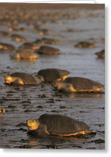 Animal Life Cycles Greeting Cards - Pacific Ridley Turtles Come Ashore Greeting Card by Steve Winter