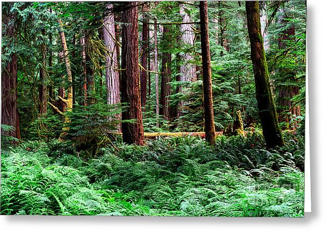 Douglas Fir Trees Greeting Cards - Pacific Rim National Park 10 Greeting Card by Terry Elniski