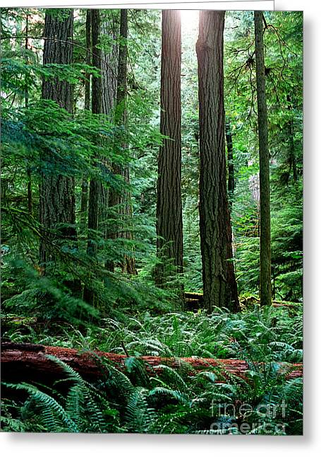 Douglas Fir Trees Greeting Cards - Pacific Rim National Park 12 Greeting Card by Terry Elniski