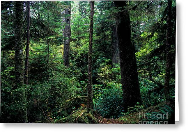 Douglas Fir Trees Greeting Cards - Pacific Rim National Park 4 Greeting Card by Terry Elniski
