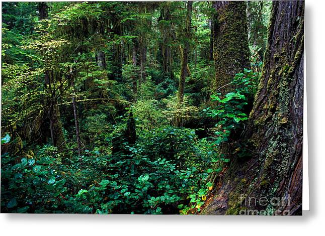 Douglas Fir Trees Greeting Cards - Pacific Rim National Park 5 Greeting Card by Terry Elniski