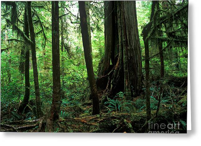 Douglas Fir Trees Greeting Cards - Pacific Rim National Park 7 Greeting Card by Terry Elniski