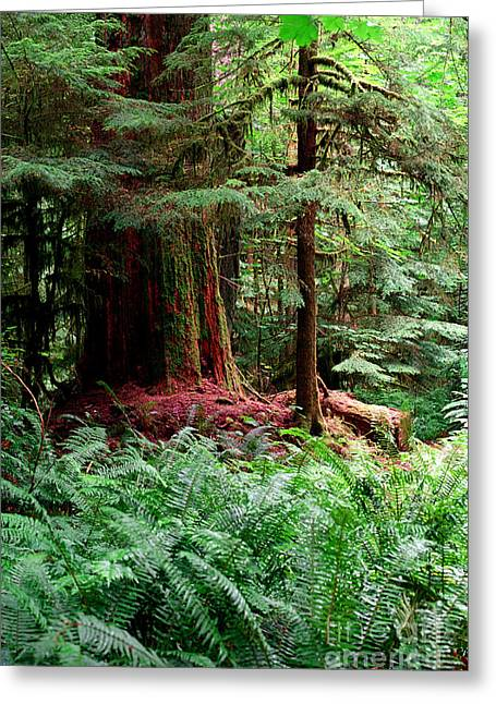Douglas Fir Trees Greeting Cards - Pacific Rim National Park 8 Greeting Card by Terry Elniski