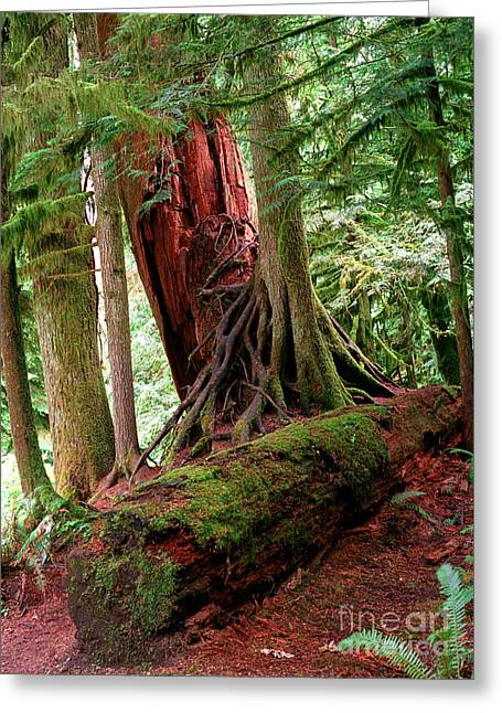 Douglas Fir Trees Greeting Cards - Pacific Rim National Park 9 Greeting Card by Terry Elniski