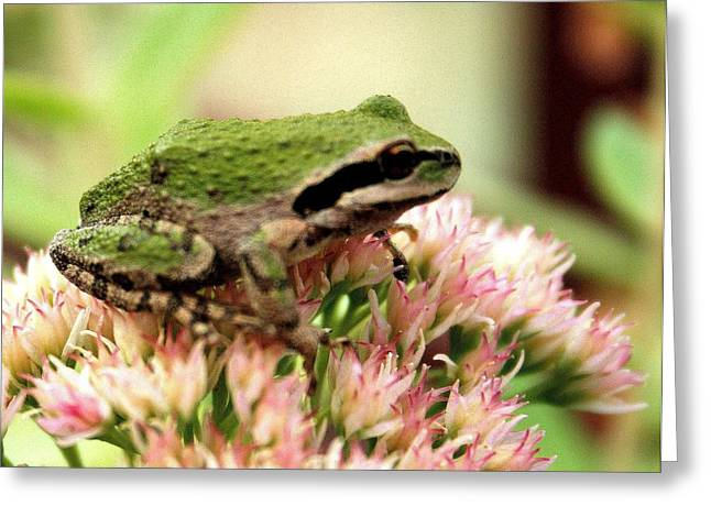 Hyla Regilla Greeting Cards - Pacific Tree Frog Greeting Card by Laurel Talabere