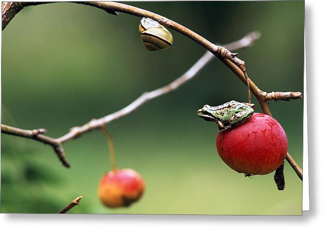 Pacific Tree Frog On A Crab Apple Greeting Card by David Nunuk