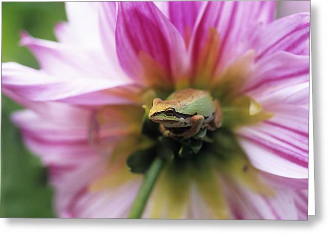 Pacific Treefrog On A Dahlia Flower Greeting Card by David Nunuk
