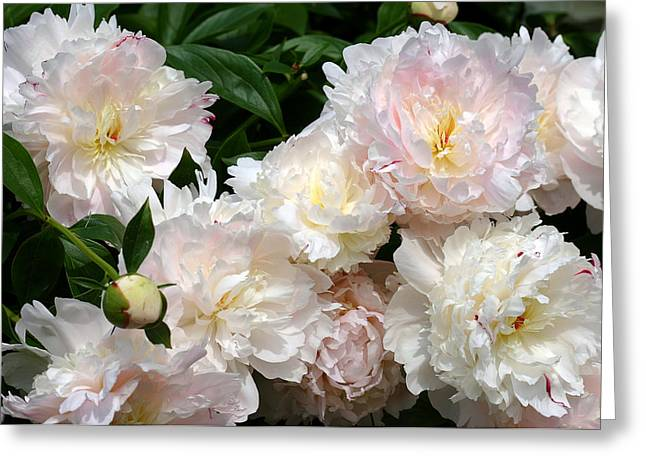 Flower Design Greeting Cards - Paeonia Marshmallow Puff and Angel Cheeks Greeting Card by Diane Dua