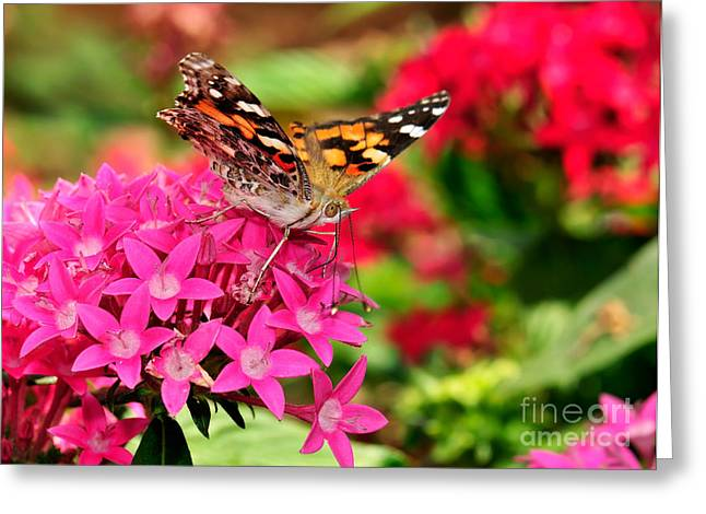 Painted Lady Butterflies Greeting Cards - Painted Lady Butterfly Greeting Card by Betty LaRue