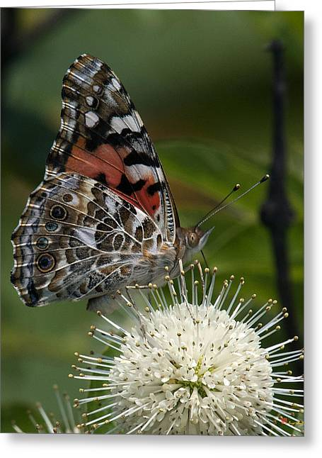 Lady Washington Greeting Cards - Painted Lady Butterfly DIN049 Greeting Card by Gerry Gantt