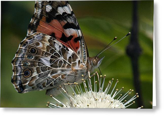 Painted Lady Butterfly DIN049 Greeting Card by Gerry Gantt