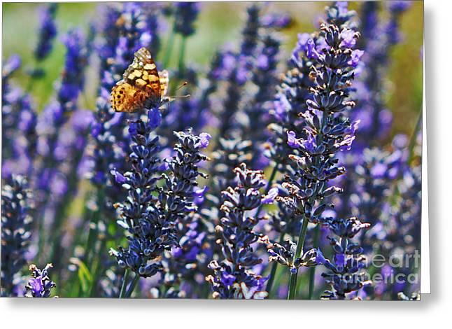 Painted Lady Butterflies Greeting Cards - Painted Lady Butterfly on Lavender Flowers Greeting Card by Paul Topp