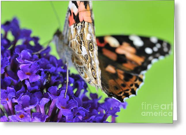 Painted Lady Butterflies Greeting Cards - Painted lady feeding on a buddleia  Greeting Card by Andy Smy