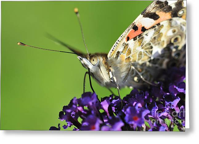Painted Lady Butterflies Greeting Cards - Painted Lady on Buddleia Close Up Greeting Card by Andy Smy
