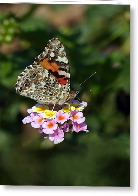 Painted Lady Greeting Card by Randall Ingalls