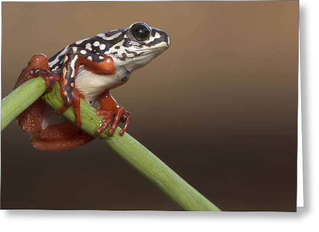Painted Reed Frog Botswana Greeting Card by Piotr Naskrecki