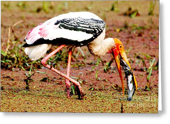 Painted Stork Feeding Greeting Card by Pravine Chester