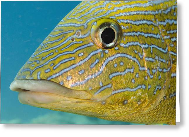 Grunts Photographs Greeting Cards - Painted Sweetlips Haemulon Sciurus Greeting Card by Pete Oxford