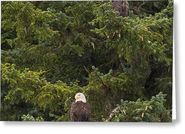 Pair of Bald Eagles Greeting Card by Darcy Michaelchuk