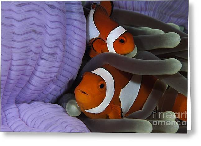 Pomacentridae Greeting Cards - Pair Of Clown Anemonefish, Indonesia Greeting Card by Todd Winner