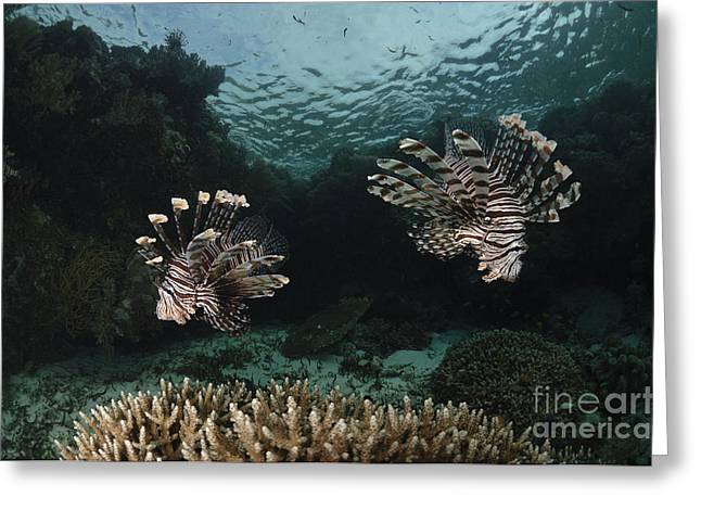 Flaring Greeting Cards - Pair Of Lionfish, Indonesia Greeting Card by Todd Winner