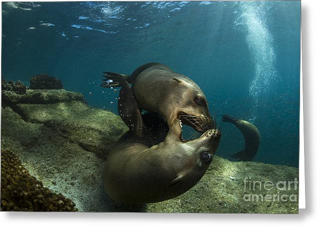 California Sea Lions Greeting Cards - Pair Of Playful Sea Lions, La Paz Greeting Card by Todd Winner