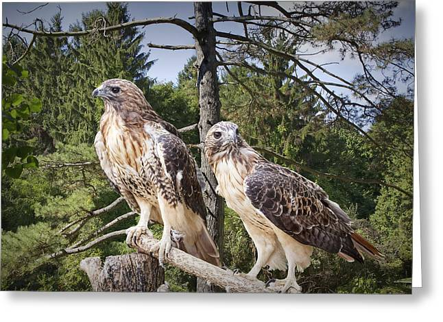 Randy Greeting Cards - Pair of Red-tail Hawks Greeting Card by Randall Nyhof