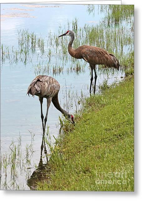 Sandhill Cranes Greeting Cards - Pair of Sandhills at the Marsh Greeting Card by Carol Groenen