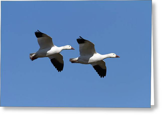 Synchronicity Greeting Cards - Pair Of Snow Geese In Flight. Chen Greeting Card by Philippe Henry