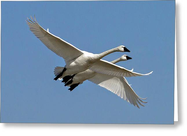 Cygnus Greeting Cards - Pair of Tundra swans Greeting Card by Bill Lindsay