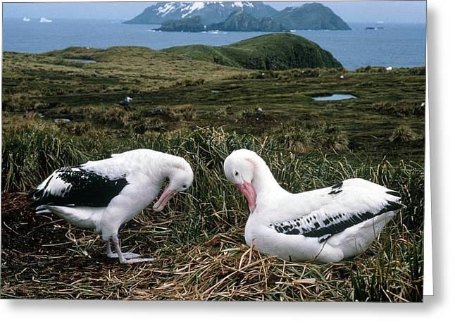 Wandering Greeting Cards - Pair Of Wandering Albatrosses Greeting Card by Peter Scoones