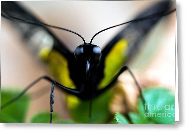 Palawan Greeting Cards - Palawan Birdwing Butterfly Greeting Card by Terry Elniski