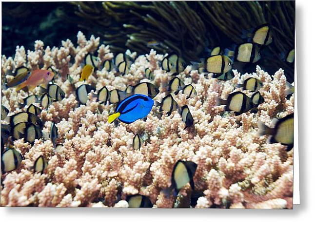 Surgeonfish Greeting Cards - Palette Surgeonfish Over Coral Greeting Card by Georgette Douwma