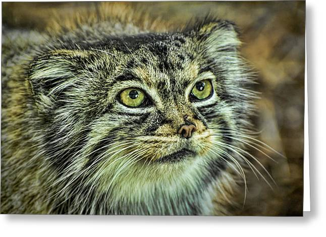 Wildcats Greeting Cards - Pallas Cat Greeting Card by Heather Applegate