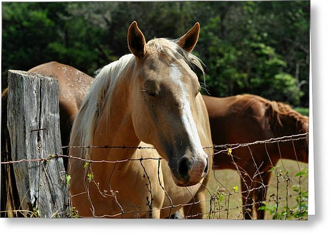 Equine Greeting Cards - Palomino at Fence Lost in Thought- c2661a  Greeting Card by Paul Lyndon Phillips